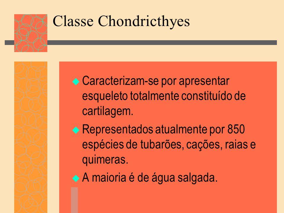 Classe Chondricthyes Caracterizam-se por apresentar esqueleto totalmente constituído de cartilagem.