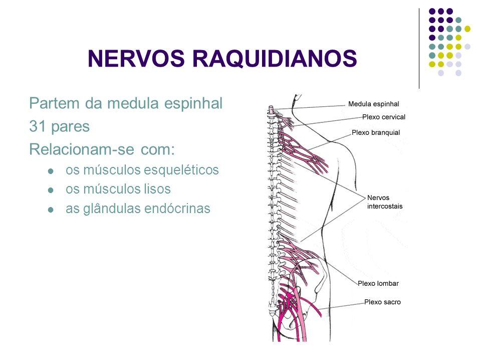 NERVOS RAQUIDIANOS Partem da medula espinhal 31 pares