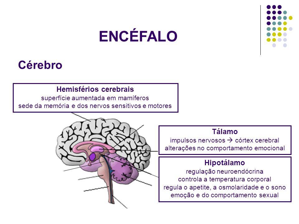 ENCÉFALO Cérebro.
