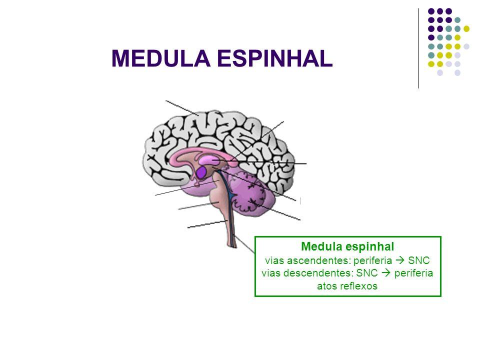 MEDULA ESPINHAL Medula espinhal vias ascendentes: periferia  SNC vias descendentes: SNC  periferia atos reflexos.