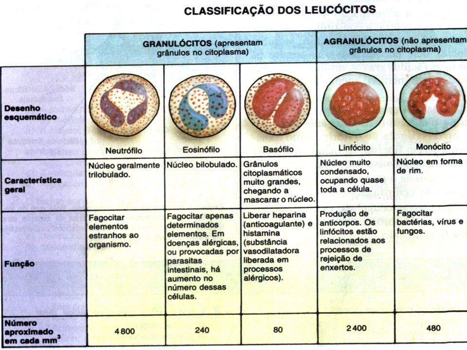 Glóbulos brancos (leucócitos) e hemácias