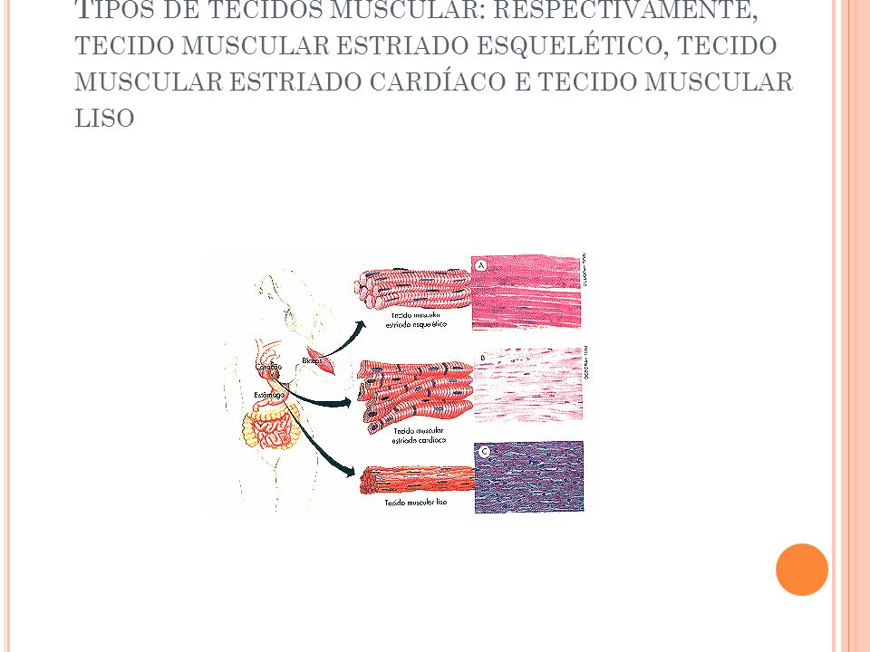 Tipos de tecidos muscular: respectivamente, tecido muscular estriado esquelético, tecido muscular estriado cardíaco e tecido muscular liso