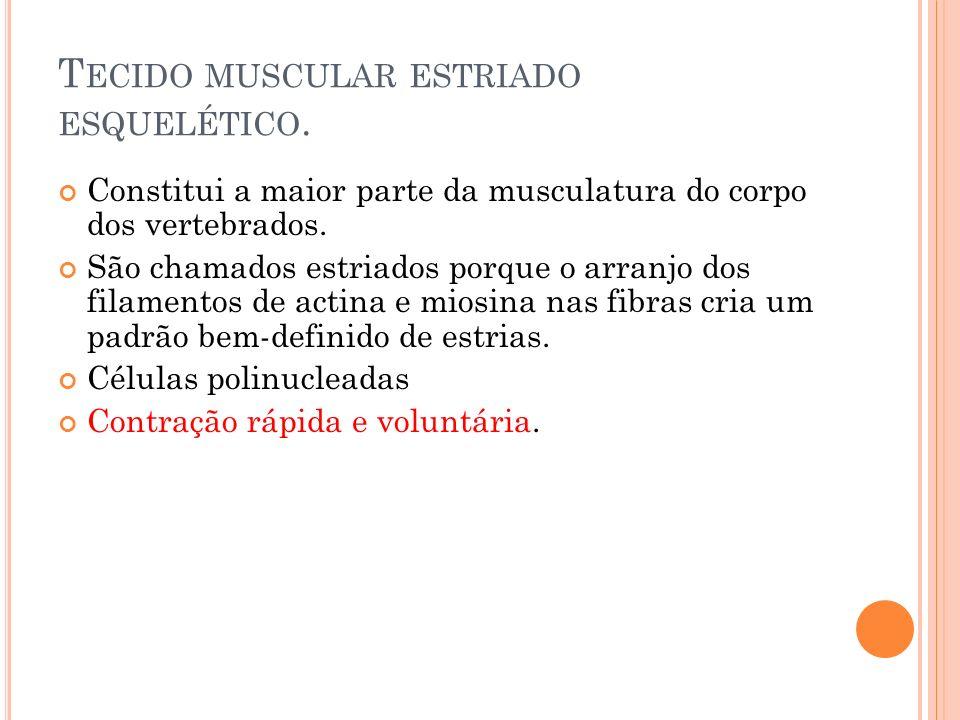 Tecido muscular estriado esquelético.