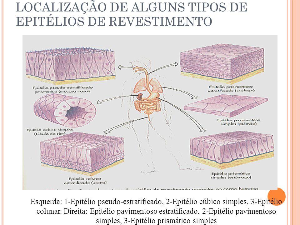 LOCALIZAÇÃO DE ALGUNS TIPOS DE EPITÉLIOS DE REVESTIMENTO