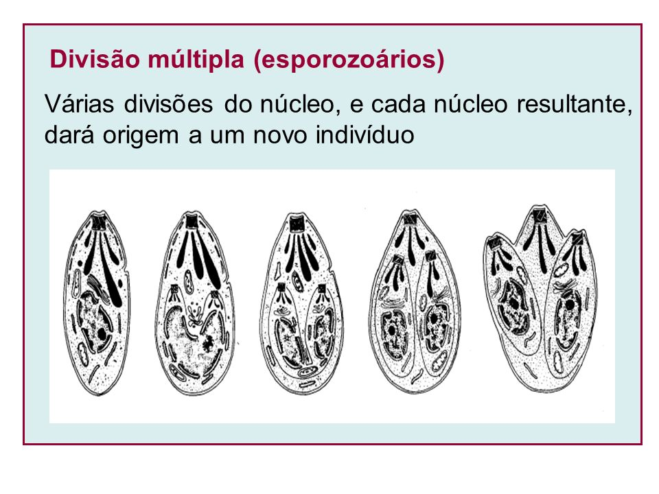 Divisão múltipla (esporozoários)