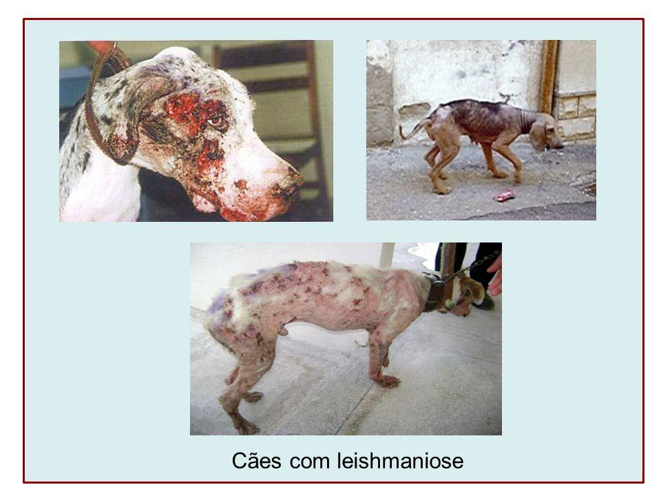 Cães com leishmaniose