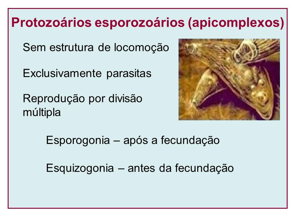 Protozoários esporozoários (apicomplexos)