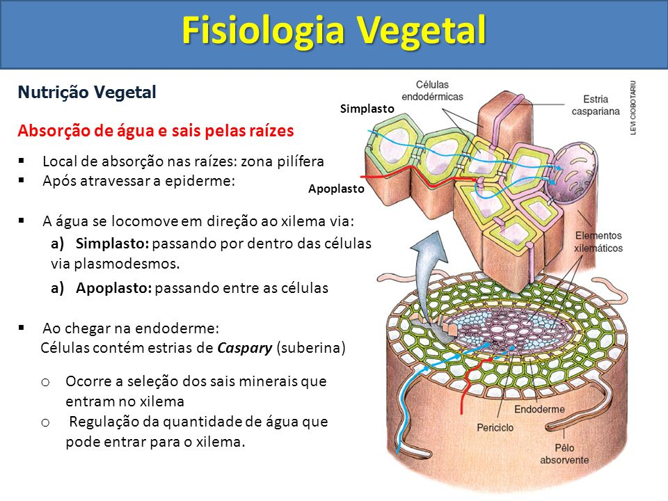Fisiologia Vegetal Absorção de água e sais pelas raízes