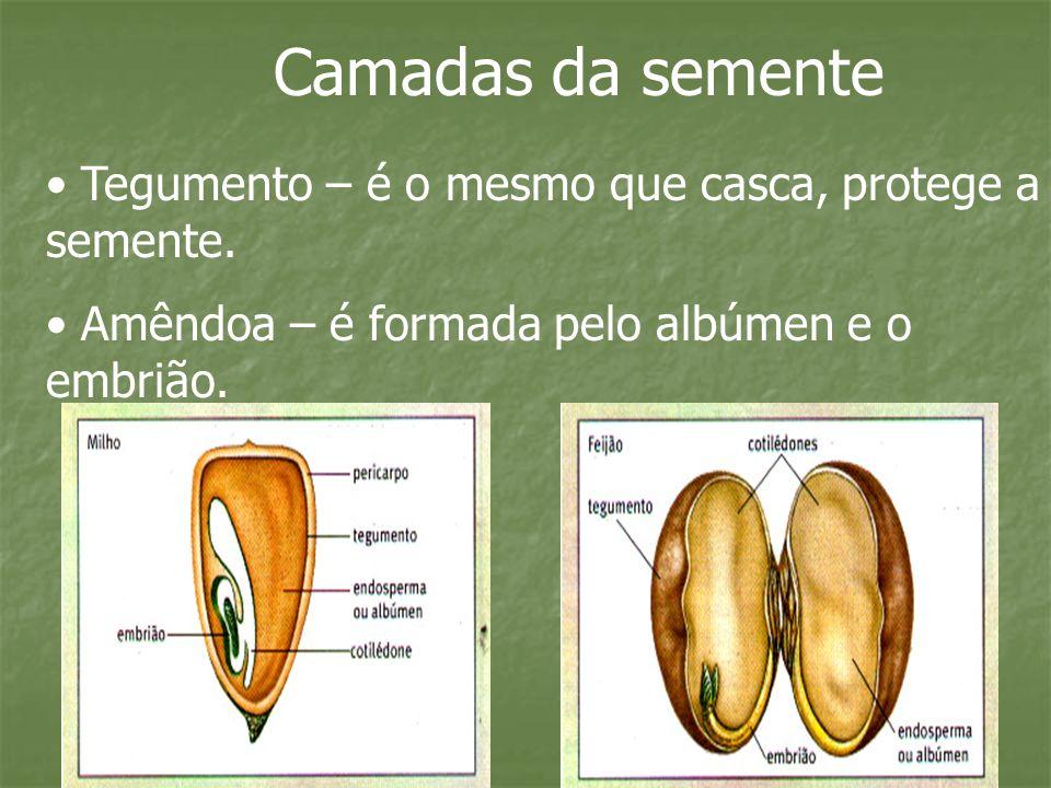 Camadas da semente Tegumento – é o mesmo que casca, protege a semente.