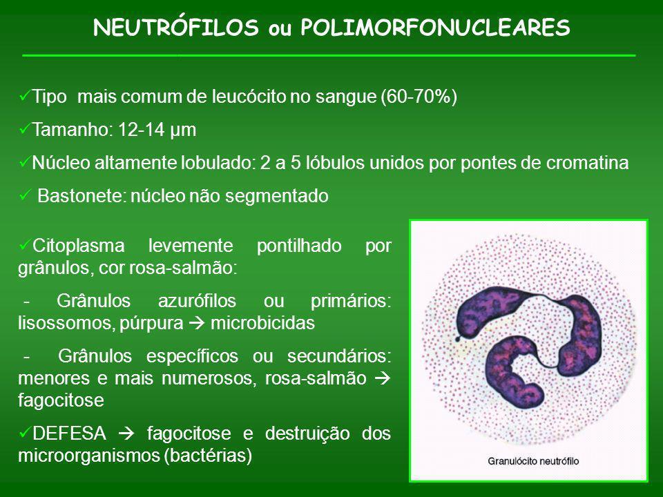 NEUTRÓFILOS ou POLIMORFONUCLEARES