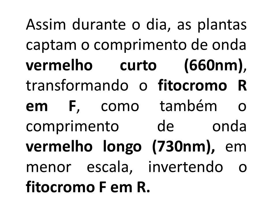Assim durante o dia, as plantas captam o comprimento de onda vermelho curto (660nm), transformando o fitocromo R em F, como também o comprimento de onda vermelho longo (730nm), em menor escala, invertendo o fitocromo F em R.