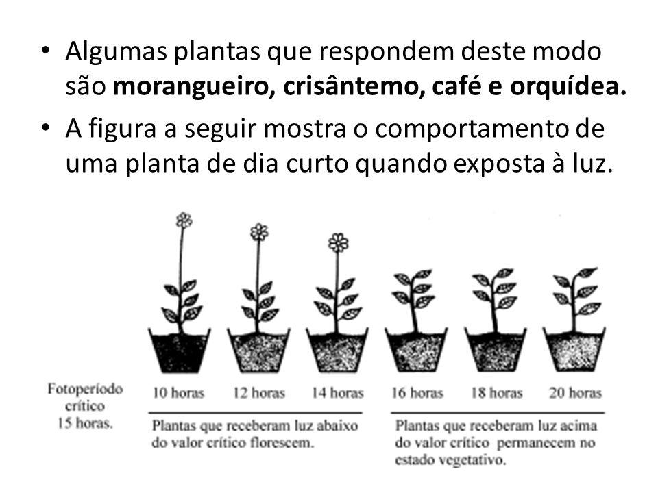 Algumas plantas que respondem deste modo são morangueiro, crisântemo, café e orquídea.