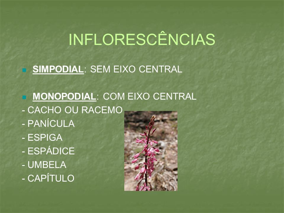 INFLORESCÊNCIAS SIMPODIAL: SEM EIXO CENTRAL