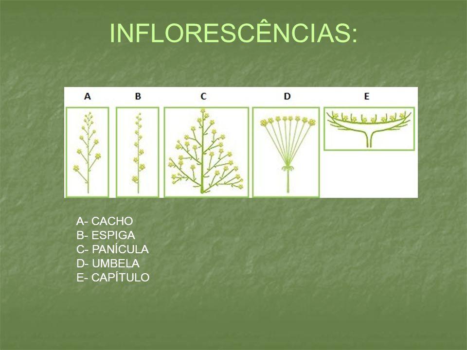INFLORESCÊNCIAS: A- CACHO B- ESPIGA C- PANÍCULA D- UMBELA E- CAPÍTULO
