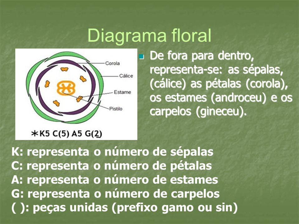 Diagrama floral De fora para dentro, representa-se: as sépalas, (cálice) as pétalas (corola), os estames (androceu) e os carpelos (gineceu).