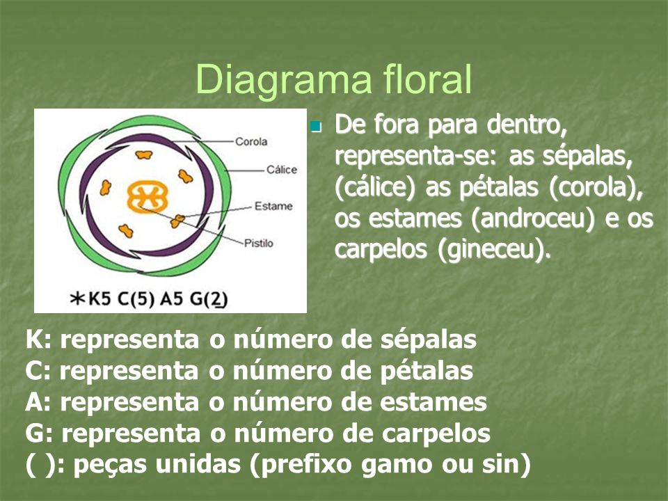 Diagrama floralDe fora para dentro, representa-se: as sépalas, (cálice) as pétalas (corola), os estames (androceu) e os carpelos (gineceu).
