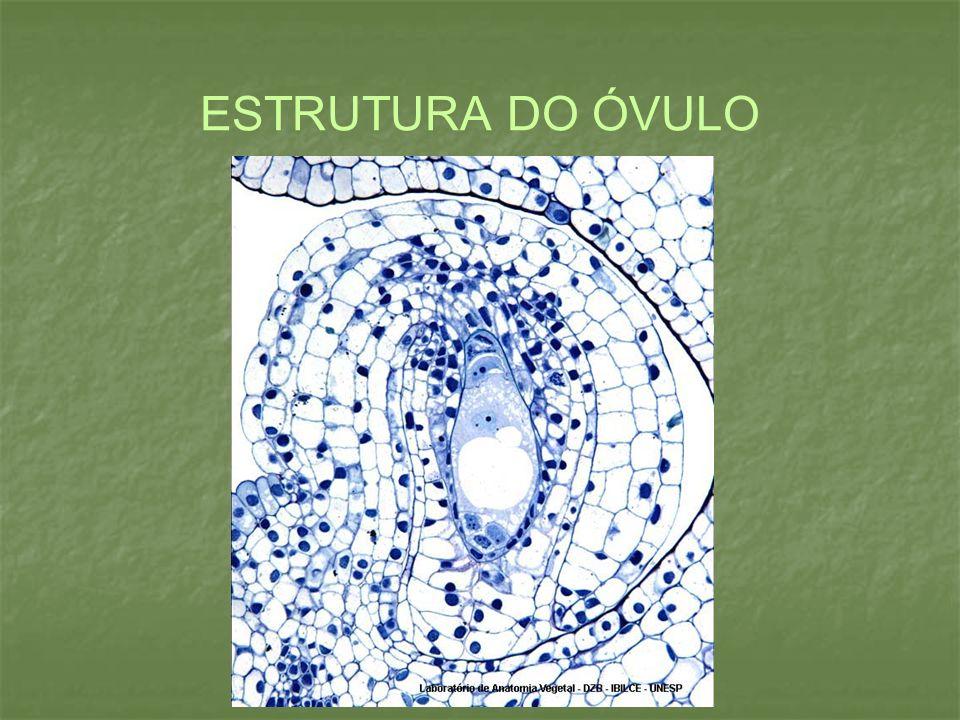 ESTRUTURA DO ÓVULO