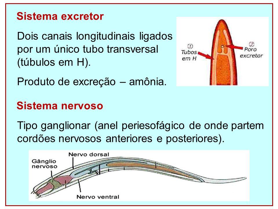 Sistema excretor Dois canais longitudinais ligados. por um único tubo transversal. (túbulos em H).