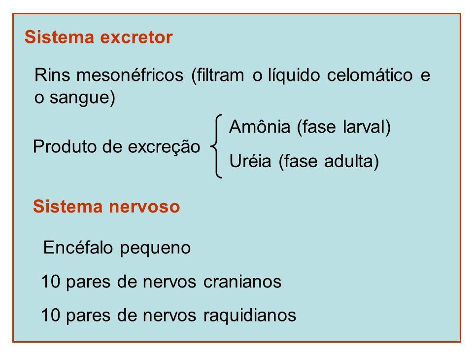 Sistema excretorRins mesonéfricos (filtram o líquido celomático e. o sangue) Produto de excreção. Amônia (fase larval)