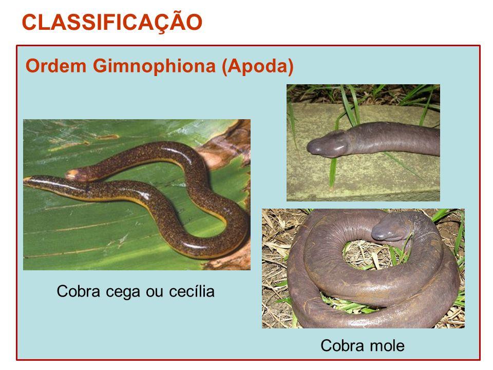CLASSIFICAÇÃO Ordem Gimnophiona (Apoda) Cobra cega ou cecília