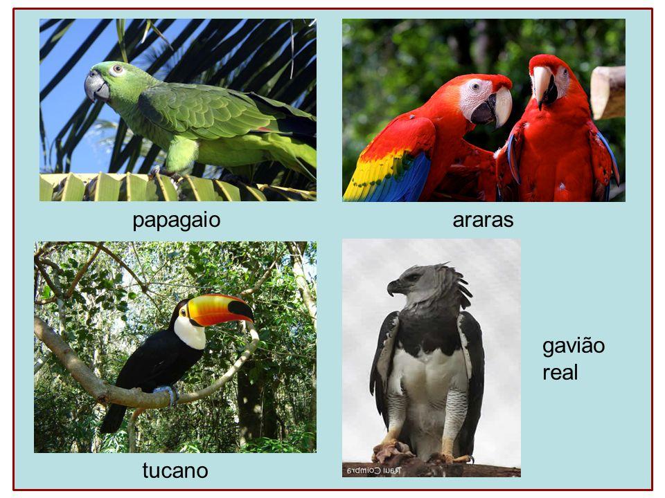 papagaio araras tucano gavião real
