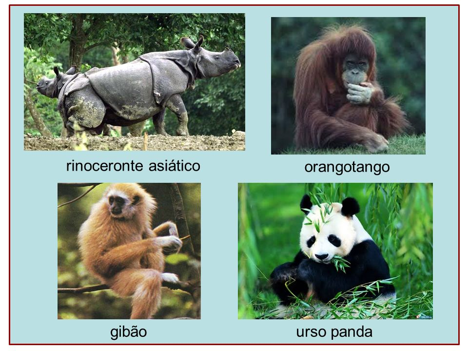 rinoceronte asiático orangotango gibão urso panda