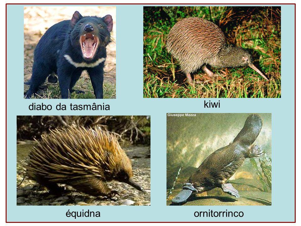 diabo da tasmânia kiwi ornitorrinco équidna