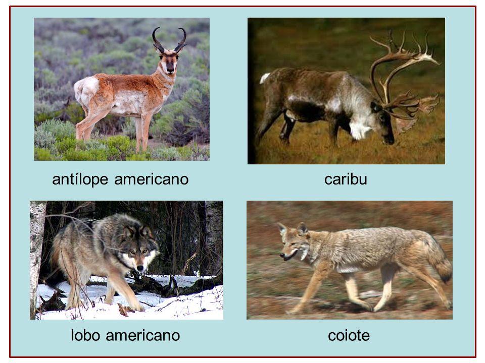 antílope americano caribu lobo americano coiote
