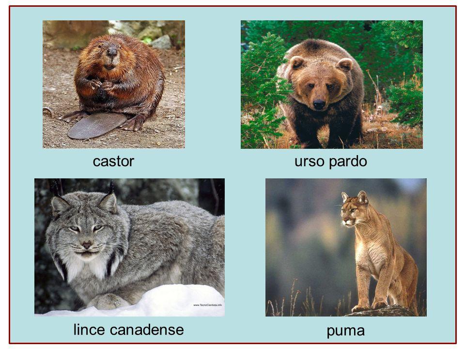 castor urso pardo lince canadense puma