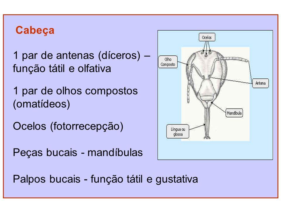 Cabeça 1 par de antenas (díceros) – função tátil e olfativa. 1 par de olhos compostos. (omatídeos)