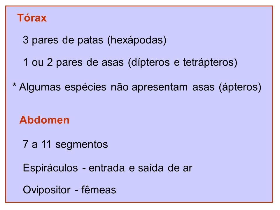 Tórax 3 pares de patas (hexápodas) 1 ou 2 pares de asas (dípteros e tetrápteros) * Algumas espécies não apresentam asas (ápteros)