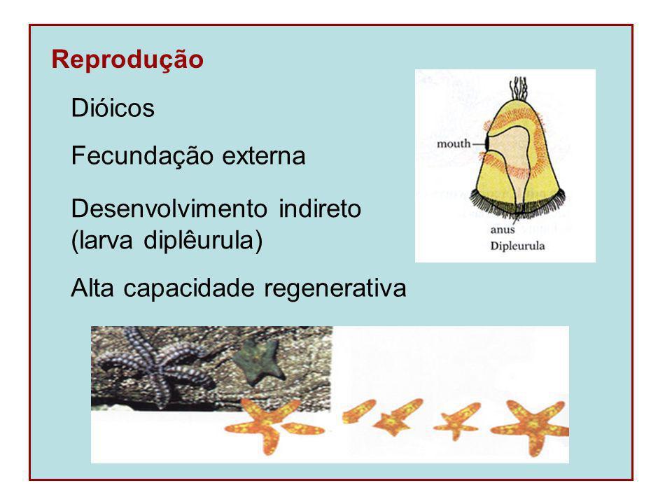 Reprodução Desenvolvimento indireto. (larva diplêurula) Dióicos.
