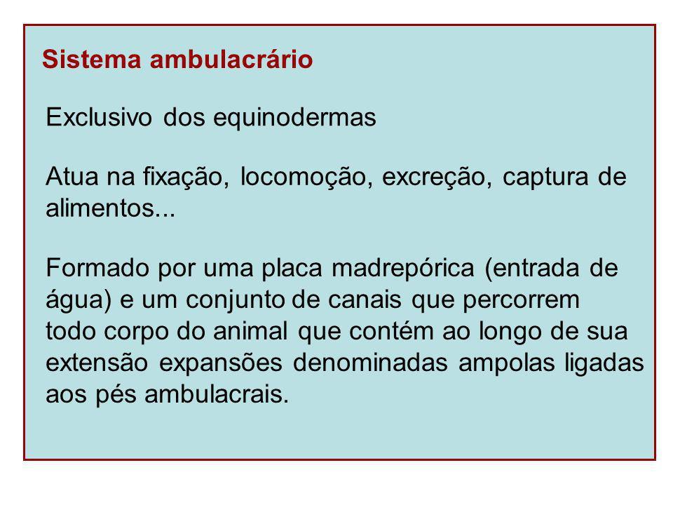 Sistema ambulacrário Exclusivo dos equinodermas. Atua na fixação, locomoção, excreção, captura de.