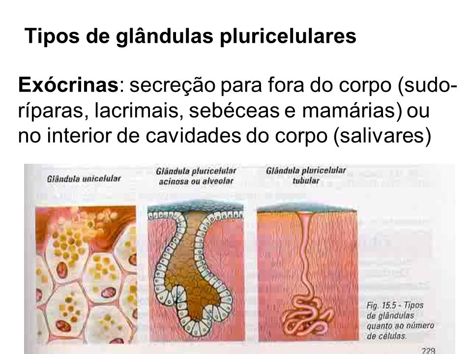 Tipos de glândulas pluricelulares