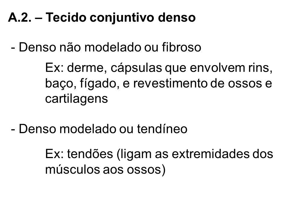 A.2. – Tecido conjuntivo denso