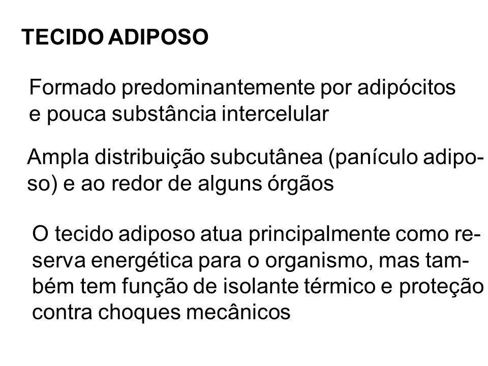 TECIDO ADIPOSO Formado predominantemente por adipócitos. e pouca substância intercelular. Ampla distribuição subcutânea (panículo adipo-