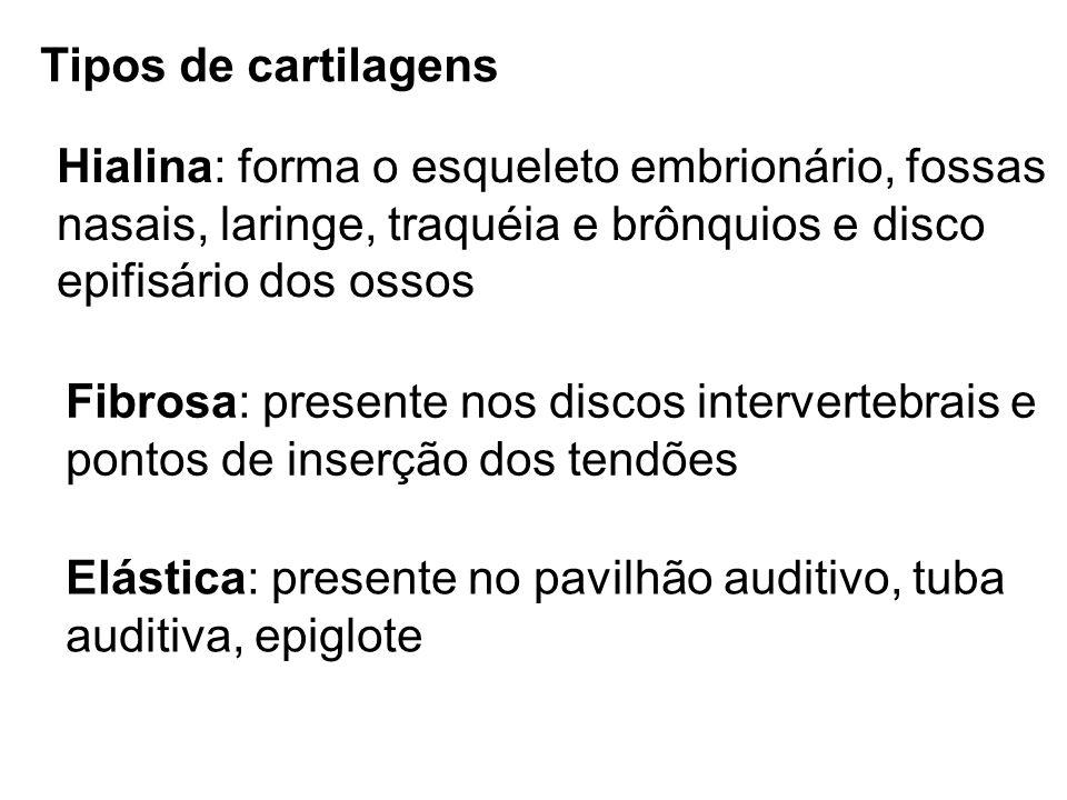 Tipos de cartilagens Hialina: forma o esqueleto embrionário, fossas. nasais, laringe, traquéia e brônquios e disco.
