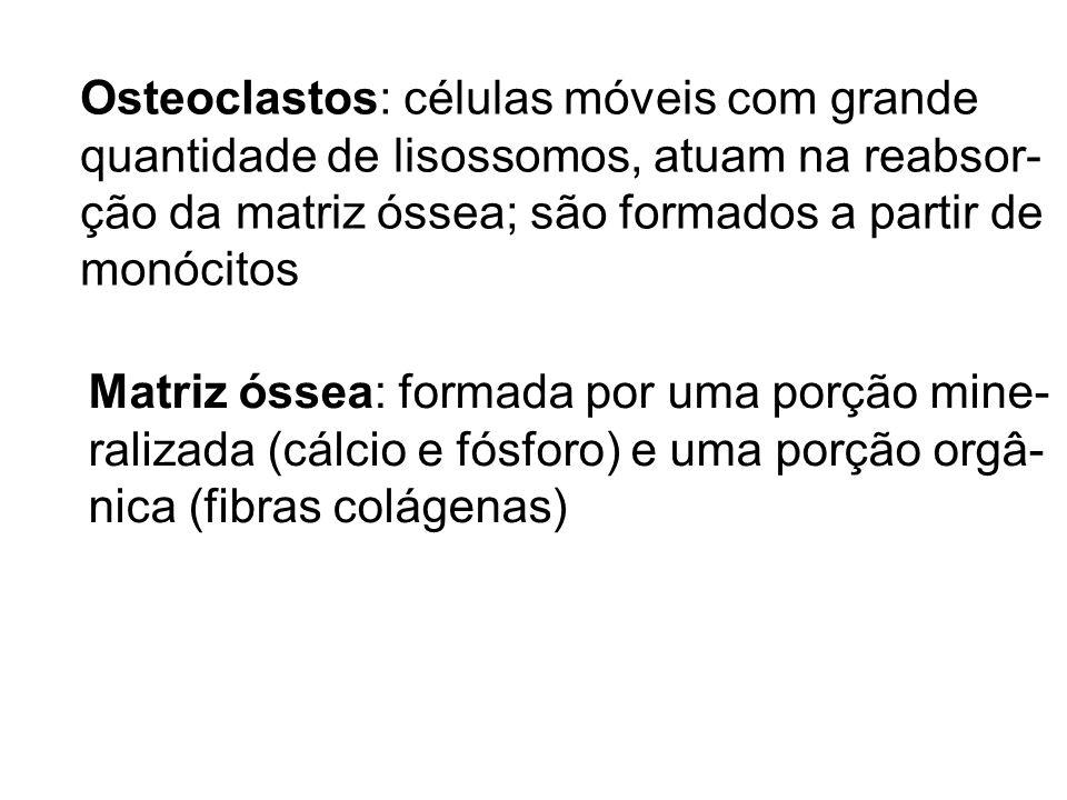 Osteoclastos: células móveis com grande