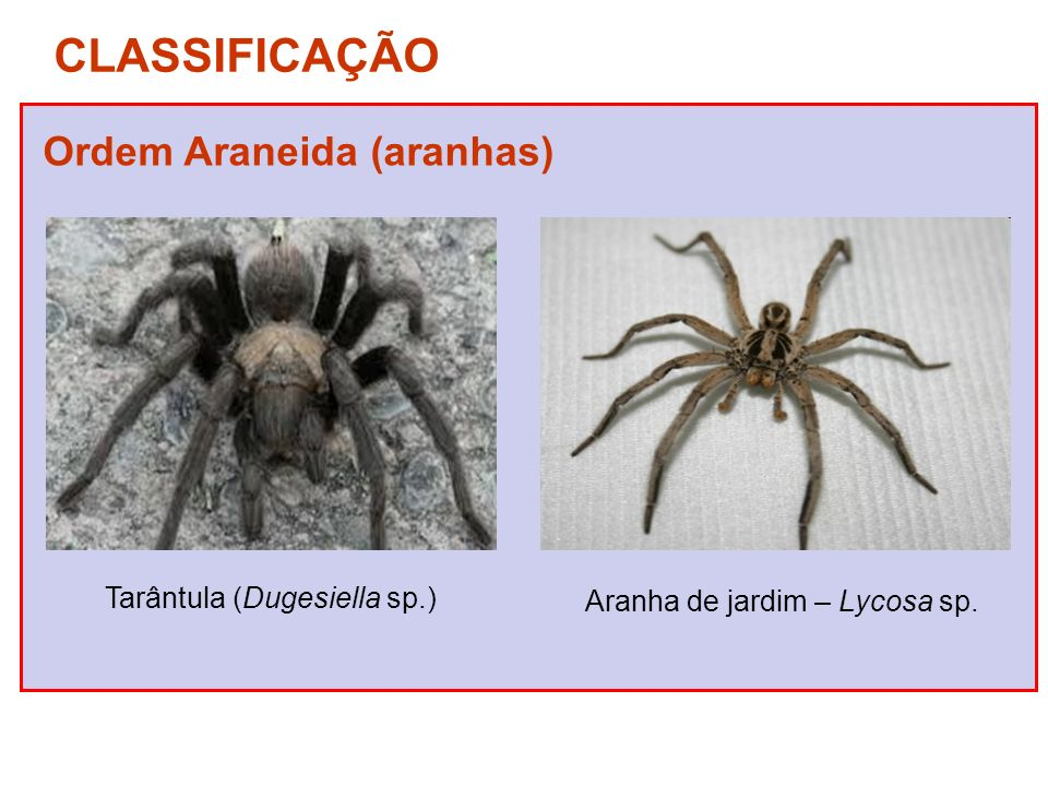 Aranha de jardim – Lycosa sp.
