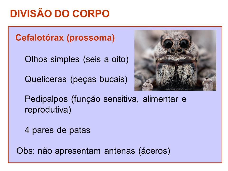 DIVISÃO DO CORPO Cefalotórax (prossoma) Olhos simples (seis a oito)