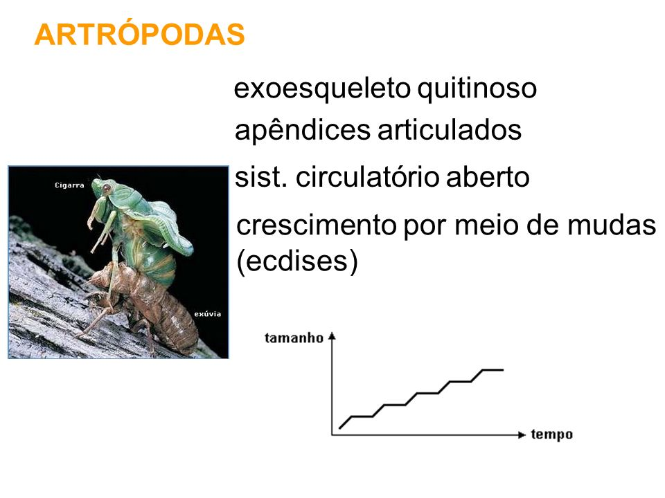 ARTRÓPODAS exoesqueleto quitinoso. apêndices articulados. sist. circulatório aberto. crescimento por meio de mudas.