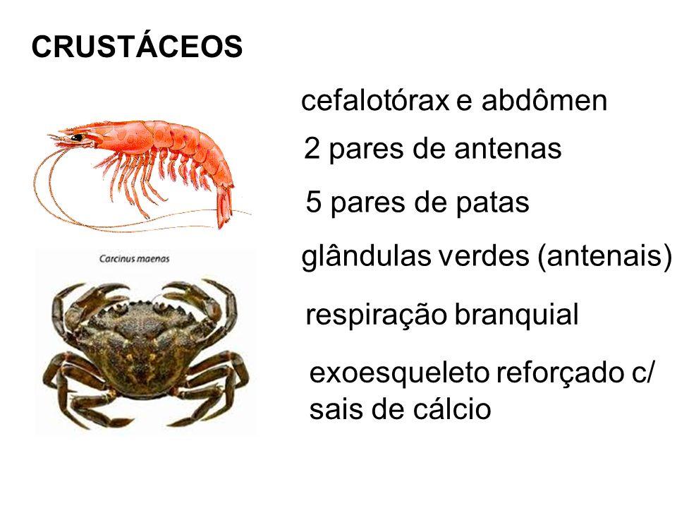 CRUSTÁCEOS cefalotórax e abdômen. 2 pares de antenas. 5 pares de patas. glândulas verdes (antenais)