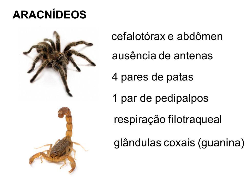 ARACNÍDEOS cefalotórax e abdômen. ausência de antenas. 4 pares de patas. 1 par de pedipalpos. respiração filotraqueal.