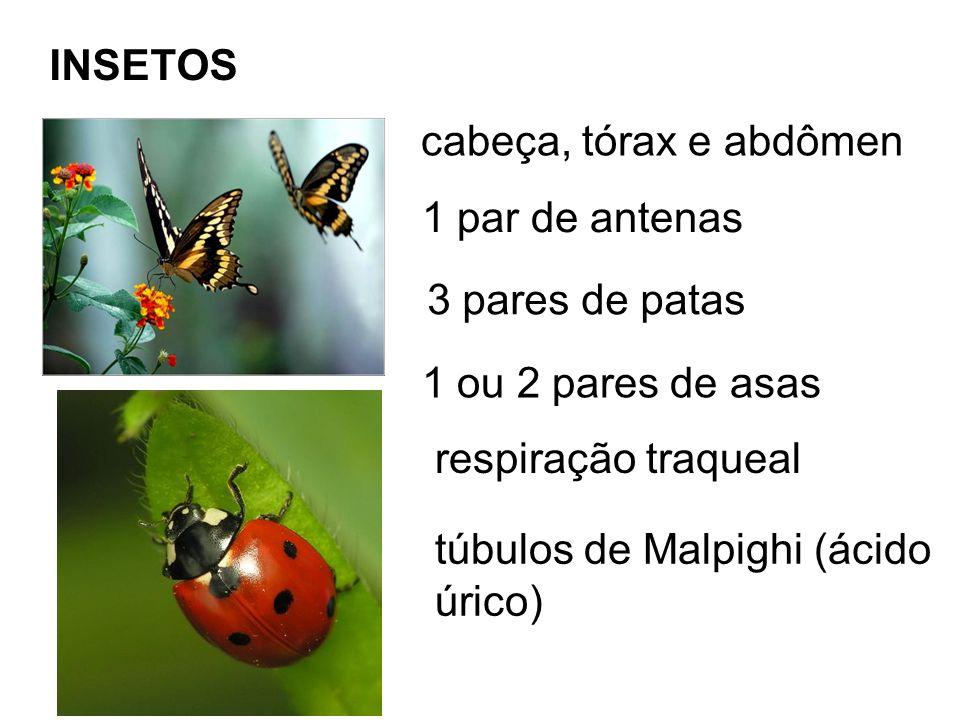 INSETOS cabeça, tórax e abdômen. 1 par de antenas. 3 pares de patas. 1 ou 2 pares de asas. respiração traqueal.