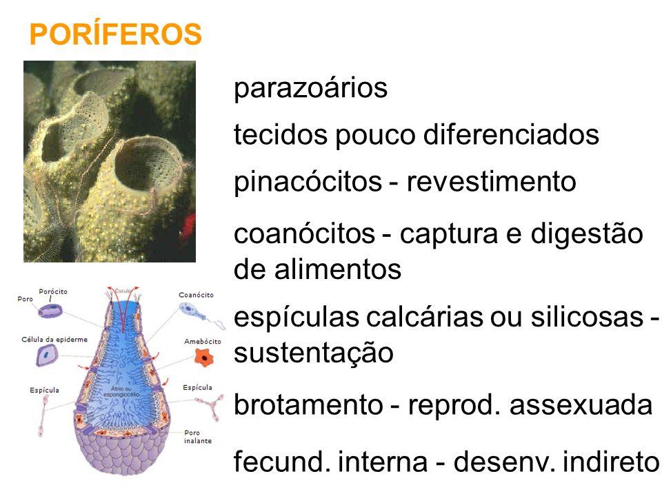 PORÍFEROS parazoários. tecidos pouco diferenciados. pinacócitos - revestimento. coanócitos - captura e digestão.