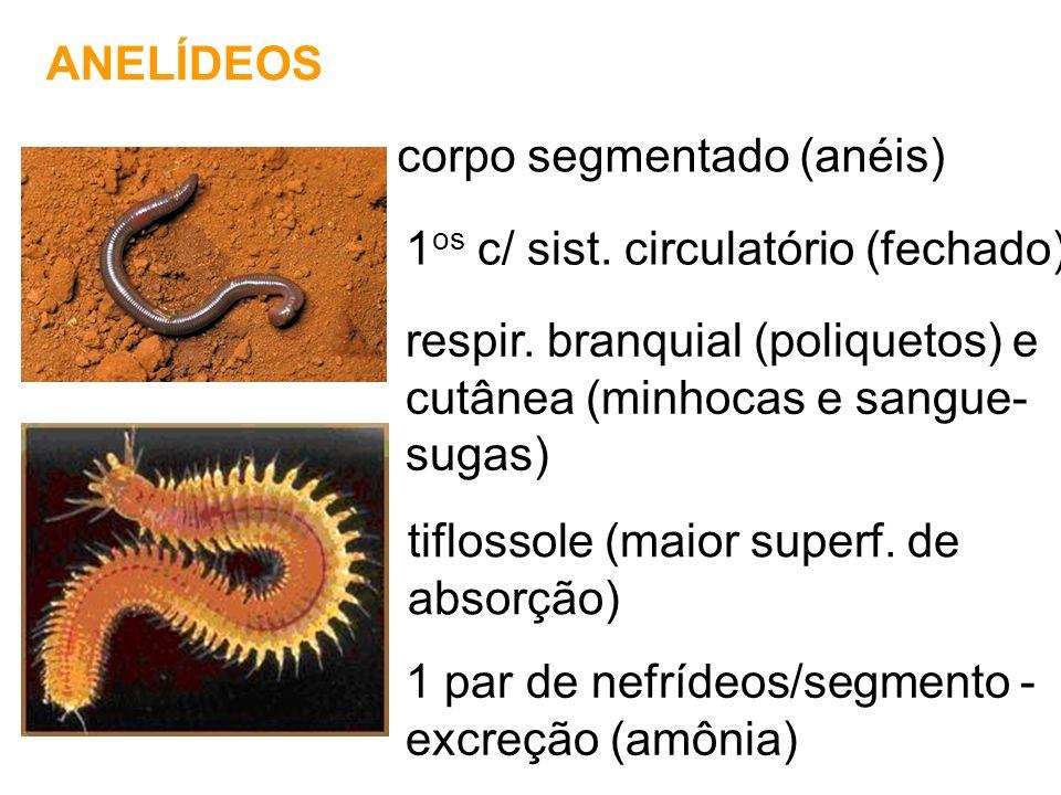 ANELÍDEOS corpo segmentado (anéis) 1os c/ sist. circulatório (fechado) respir. branquial (poliquetos) e.