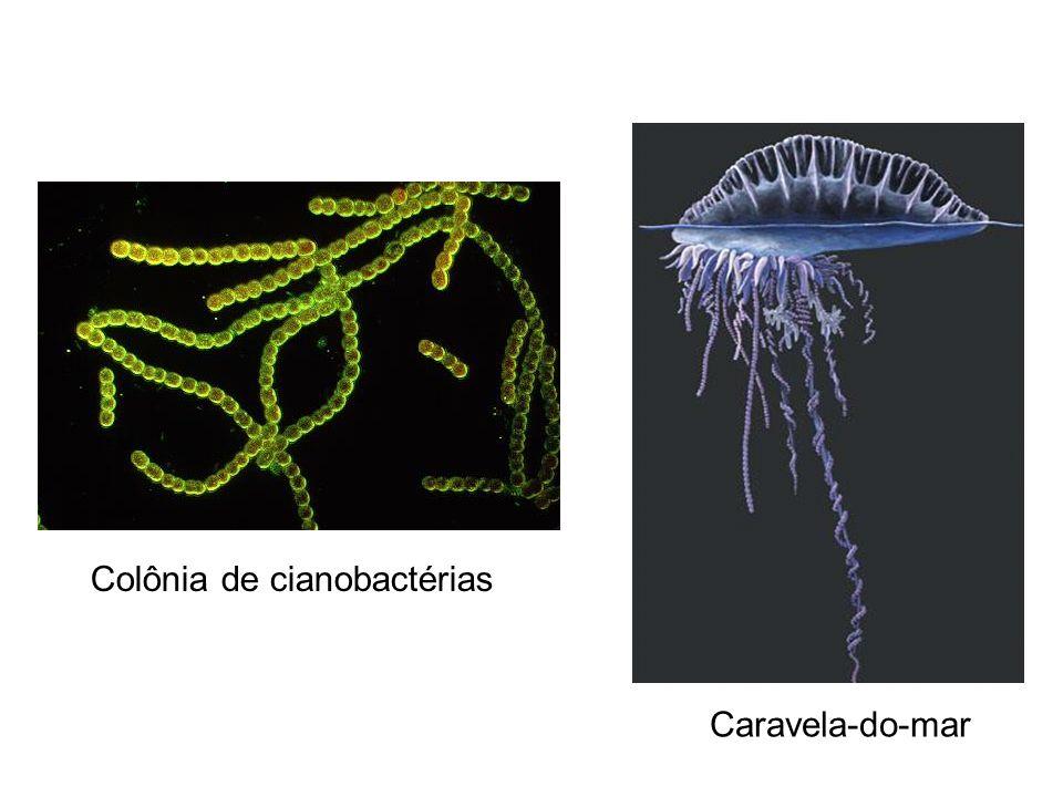 Caravela-do-mar Colônia de cianobactérias