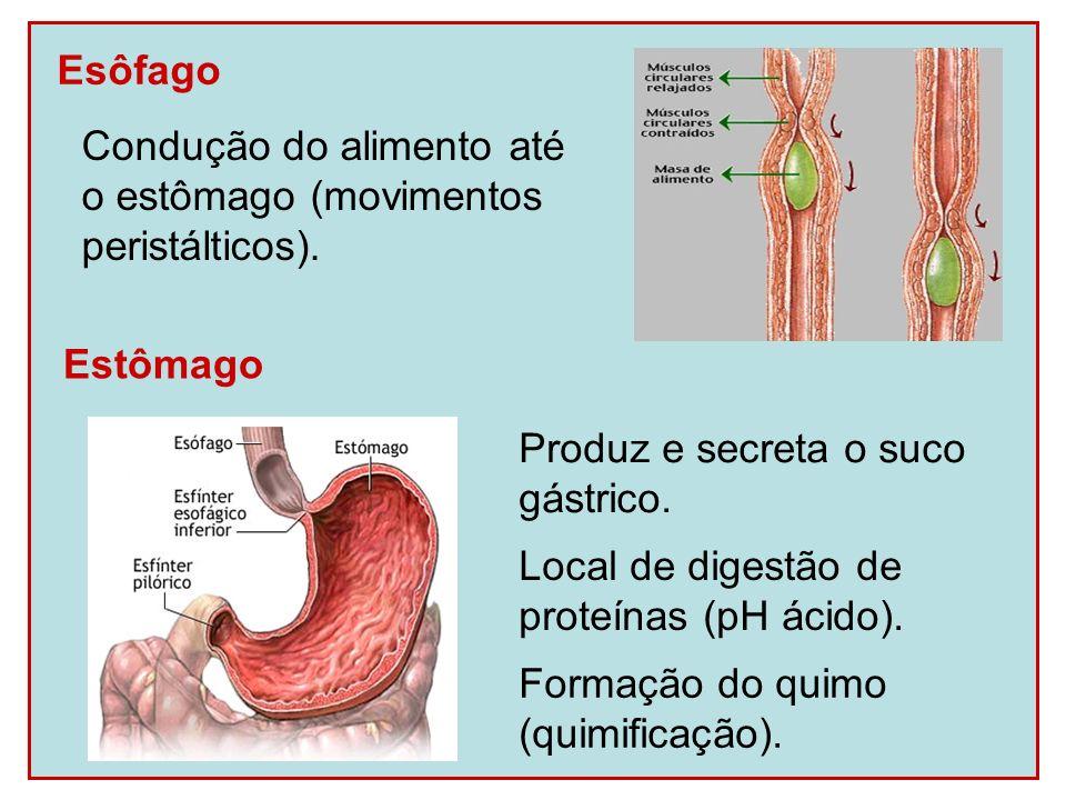 Esôfago Condução do alimento até. o estômago (movimentos. peristálticos). Estômago. Produz e secreta o suco.