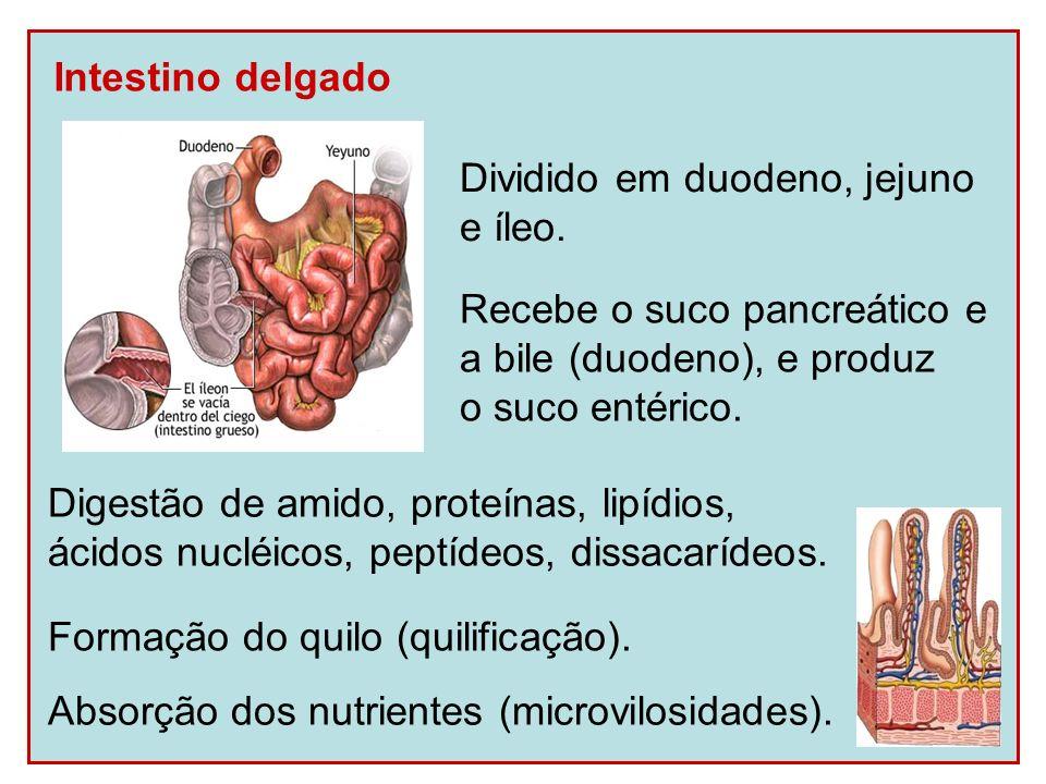 Intestino delgado Dividido em duodeno, jejuno. e íleo. Recebe o suco pancreático e. a bile (duodeno), e produz.