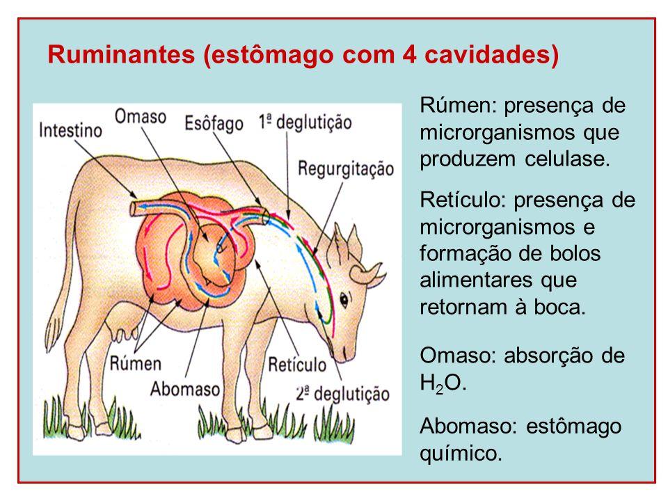 Ruminantes (estômago com 4 cavidades)